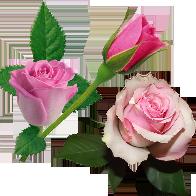 اجمل الورود والازهار الزهرية جودة عالية دون خلفية ( 1 )